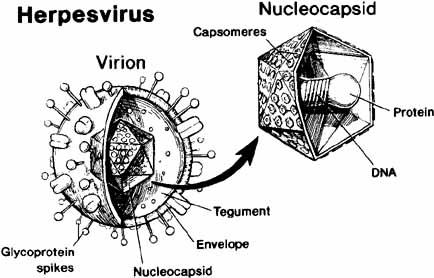 Herpes Zoster Virus Microscope of herpes simplex virus