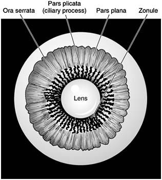 lens  and ora serrata  Ora Serrata