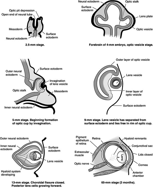 Accesslange General Ophthalmology Chapter 1 Anatomy Embryology