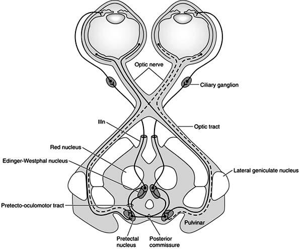 Pupil Response Diagram